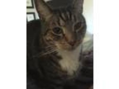 Adopt Kitty a Tiger Striped Domestic Mediumhair / Mixed (medium coat) cat in
