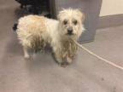 Adopt A521574 a Norwich Terrier, Mixed Breed