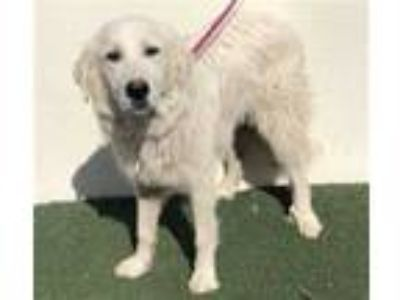 Adopt a White Great Pyrenees / Mixed dog in Visalia, CA (25326534)