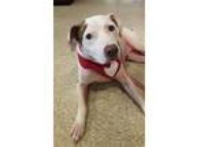Adopt Delta S a Pit Bull Terrier