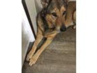 Adopt Sabrina a Black - with Tan, Yellow or Fawn German Shepherd Dog / Collie /