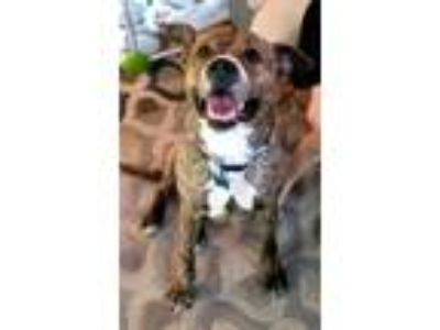 Adopt MARLEY a Brindle - with White Pit Bull Terrier / Mixed dog in Grafton