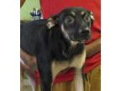 Adopt Ellie a Black Manchester Terrier / Beagle / Mixed dog in West Memphis