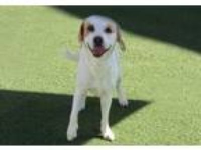 Adopt Jake a Beagle / Hound (Unknown Type) / Mixed dog in Downey, CA (15480528)