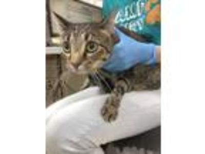Adopt Cross a Gray or Blue American Shorthair / Domestic Shorthair / Mixed cat