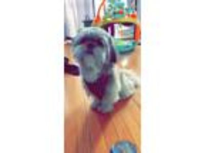 Adopt Max a Tricolor (Tan/Brown & Black & White) Shih Tzu / Vizsla dog in