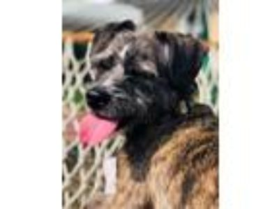 Adopt Peggy Sue a Gray/Silver/Salt & Pepper - with White Standard Schnauzer /