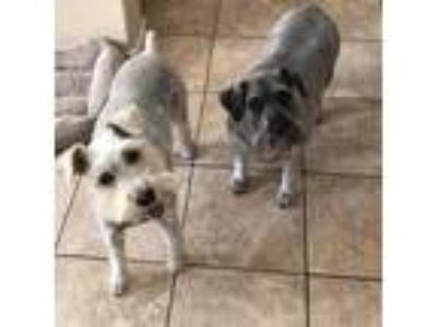 Adopt Betty a White - with Gray or Silver Miniature Schnauzer / Mixed dog in Las