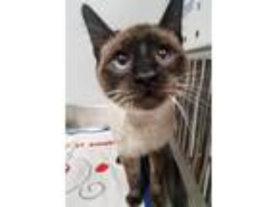 Adopt Scooter a Siamese