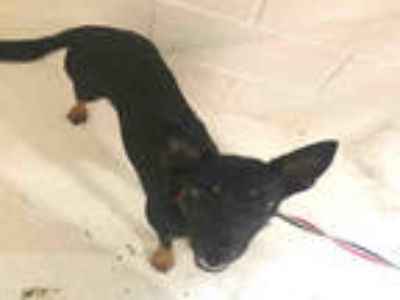 Adopt a Black - with Tan, Yellow or Fawn Miniature Pinscher / German Shepherd