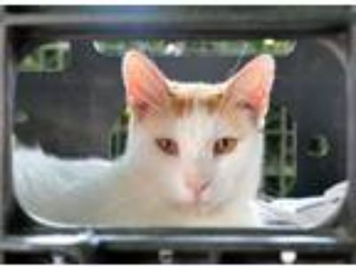 Adopt Shelby a Domestic Short Hair