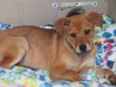 Adopt Little Heart a Red/Golden/Orange/Chestnut German Shepherd Dog / Labrador