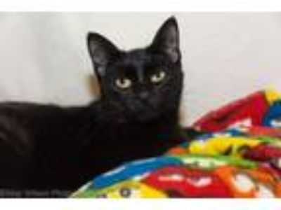 Adopt Spork a Domestic Short Hair