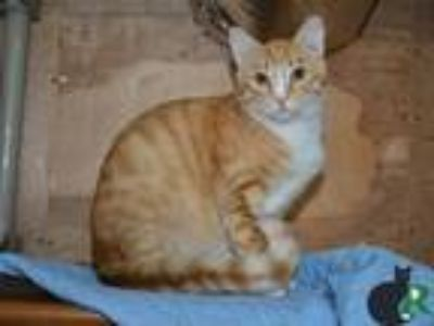 Adopt Oxi a Orange or Red (Mostly) Domestic Shorthair / Mixed (short coat) cat