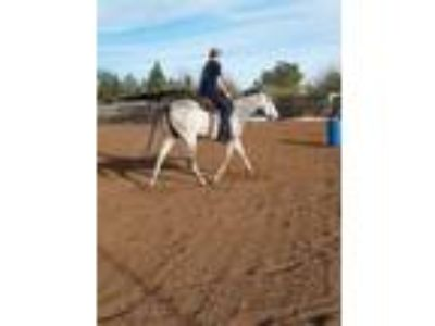 2014 Grey Thoroughbred Bred Gelding For Sale