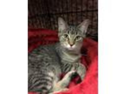 Adopt Squirrel a Domestic Short Hair, Tabby