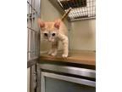 Adopt Mack a Orange or Red Domestic Shorthair / Domestic Shorthair / Mixed cat