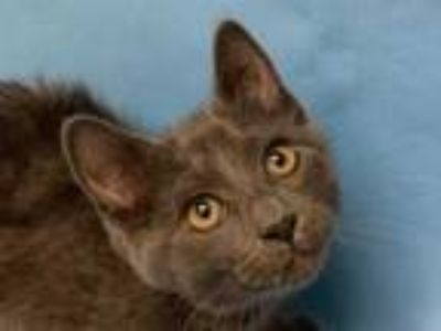Adopt Winter a Gray or Blue Domestic Shorthair / Domestic Shorthair / Mixed