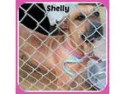 Adopt SHELLY a Labrador Retriever, Boxer