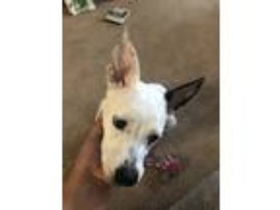 Adopt Jezzie a White - with Black Jack Russell Terrier dog in Antioch