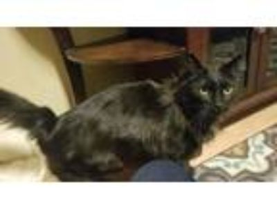 Adopt Callie a All Black Domestic Mediumhair (medium coat) cat in Wasilla