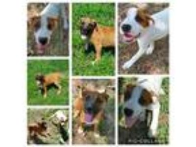 Adopt Rafiki a Tricolor (Tan/Brown & Black & White) Boxer / Labrador Retriever /