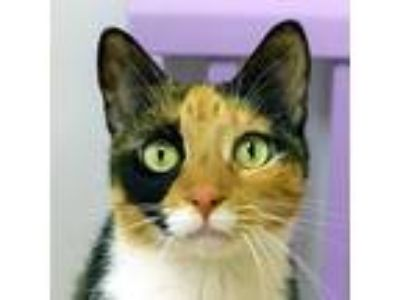 Adopt Charlie a Calico or Dilute Calico Domestic Shorthair (short coat) cat in