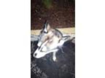 Adopt Spark a Gray/Blue/Silver/Salt & Pepper Husky / Mixed dog in Land O'Lakes