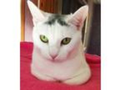 Adopt Glenda a White Domestic Shorthair (short coat) cat in West Hartford