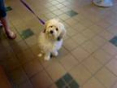 Adopt TEDDY a Lhasa Apso, Mixed Breed
