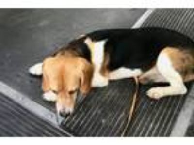 Adopt Calvin - Local June 9th a Beagle
