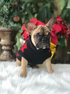 French Bulldog PUPPY FOR SALE ADN-109001 - Enzo The Cutest Holiday AKC French Bullldog