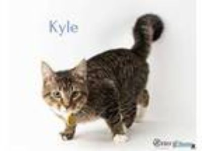 Adopt Kyle a Gray or Blue Domestic Shorthair / Domestic Shorthair / Mixed cat in
