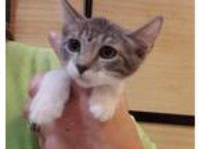 Adopt Piper a Gray or Blue Domestic Shorthair / Mixed cat in Denison