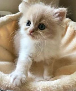 All White Purebred male and female persian kittens available soon