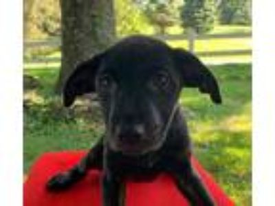 Adopt Gazebo a Labrador Retriever