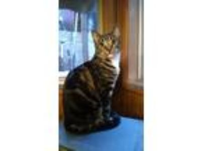 Adopt Max a Tiger Striped American Shorthair / Mixed (short coat) cat in Green