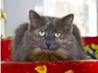 Adopt Sierra a Gray or Blue Domestic Longhair / Domestic Shorthair / Mixed (long