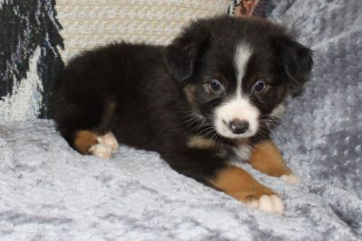 Miniature American Shepherd Puppies