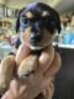 Roger Miniature Pinscher - Chihuahua Dog