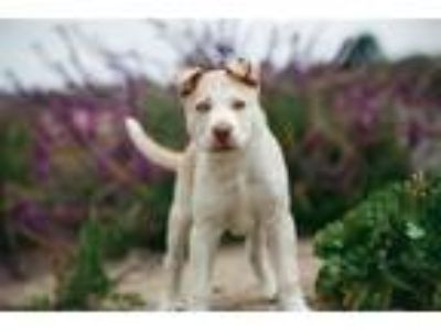 Adopt Frosty a Pit Bull Terrier / Shepherd (Unknown Type) / Mixed dog in