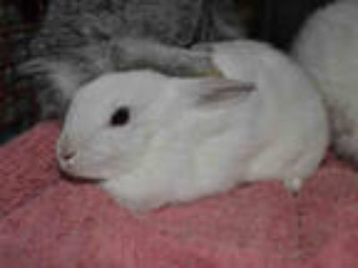 Adopt TWILIGHT a White Other/Unknown / Mixed rabbit in Van Nuys, CA (25897372)