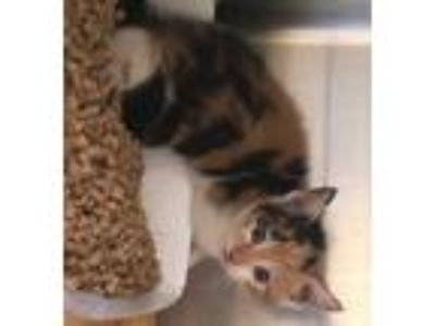 Adopt *SUE a Calico or Dilute Calico Domestic Shorthair / Mixed (short coat) cat