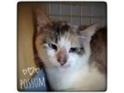 Adopt Possum a White (Mostly) Domestic Shorthair cat in Dallas, TX (25448674)
