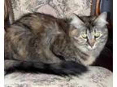 Adopt Felicity a Maine Coon