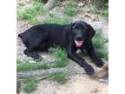 Adopt Drake - gorgeous happy puppy a Labrador Retriever