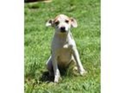 Adopt Ant a Rat Terrier / Mixed dog in Stratham, NH (25330360)