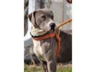 Adopt Tori a Gray/Silver/Salt & Pepper - with White Pit Bull Terrier / Mixed dog