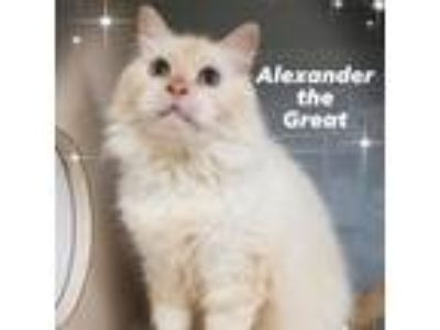 Adopt Alexander the Great a Ragdoll, Balinese