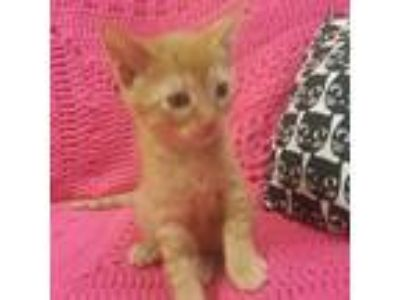 Adopt Papa John a Orange or Red Domestic Shorthair cat in Woodstock